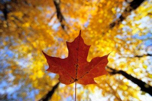 Maple Leaf and Forest Canopy, Gatineau Park, Quebec.